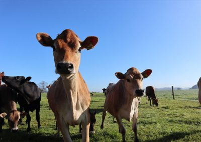 Herd health solutions for cattle, dairy and sheep at Gippsland Veterinary Group